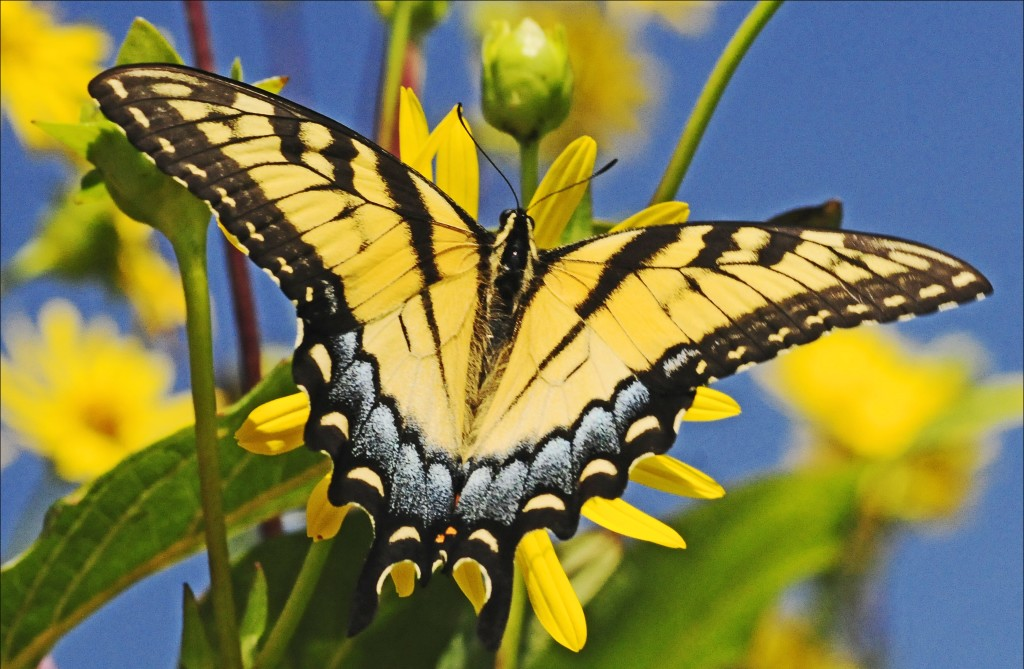 Eastern swallowtail (by Joan Sayre)