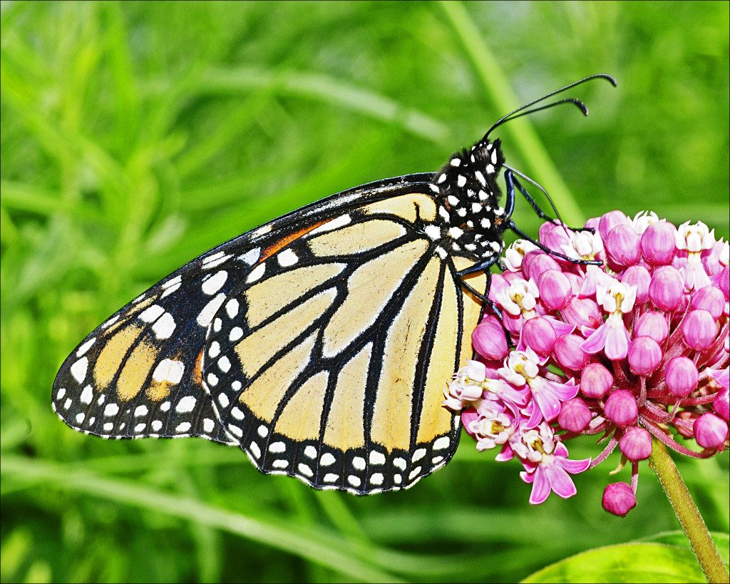 Monarch butterfly on milkweed (by Joan Sayre)