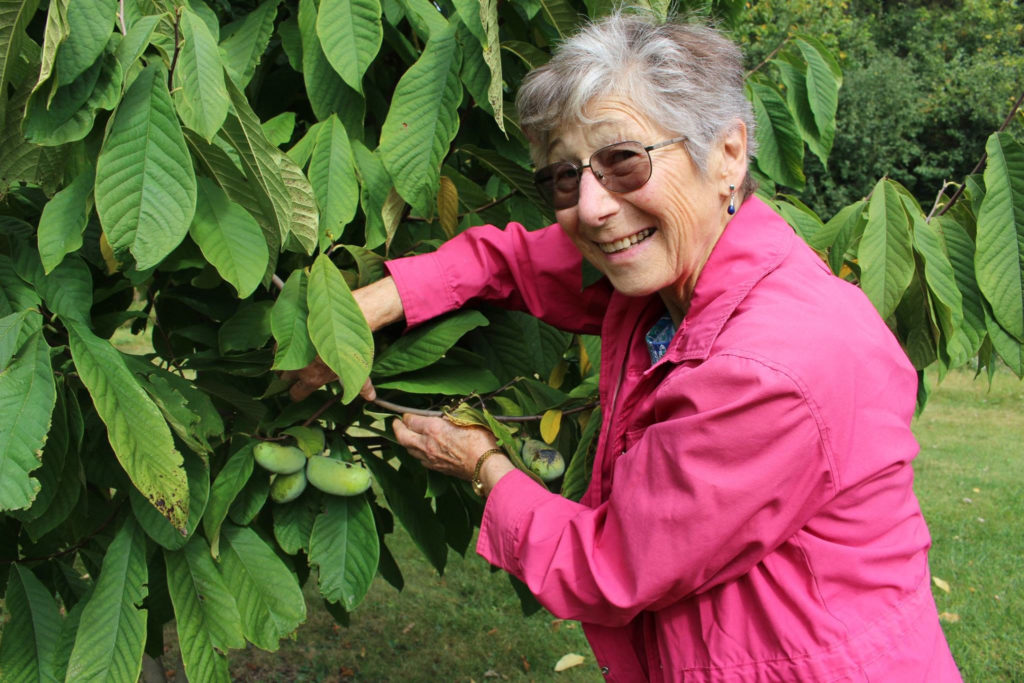 Linda Wiens holds the leaves of a pawpaw tree aside so the fruit on the tree can be seen.
